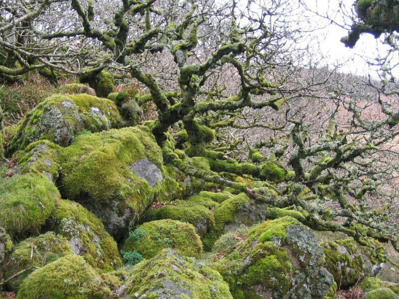 wistmans wood winter woods dartmoor